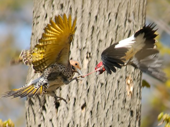 Taken at Rondeau Provincial Park, ON, Canada, this image shows a fight between a Red Headed Woodpecker and a Yellow-shafted Northern Flicker over a nest hole.  The Red Headed Woodpeckers tried to chase away the intruding Flickers but after this encounter, the fight was over.  The Flicker managed to grab the Red Headed by its tongue and force it all the way down to the ground.  Both birds spiraled while falling to the ground.  It must have been painful as the Redheaded gave up after this clash.