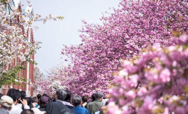 全部で133種類もの桜が観られる「造幣局桜の通り抜け2018」。 全国に桜の名所は数多くありますが、これほど多くの品種が、一か所で見られるのは、